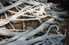 Tree roots. Creeping over ground Stock Photos
