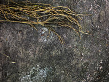 Tree roots on dark dirt ground for background. Royalty Free Stock Image