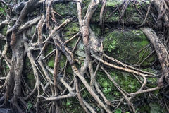 Tree roots. Details of the tree roots on rocks wall stock photography