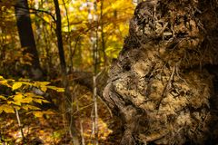 Tree Roots and Dirt of a Fallen Tree. The tree roots and dirt of a fallen tree seen in the forest on a sunny fall day stock photography