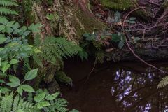 Tree roots in a puddle. Tree roots down in a puddle reflecting the sky with ferns around stock images