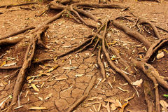 Tree roots in dry cracked soil, Nature Stock Photo