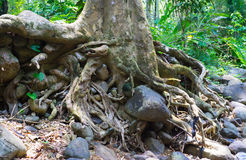 Tree roots. On dry river bank Royalty Free Stock Photos