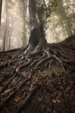 Tree with roots in a enchanted mysterious forest Royalty Free Stock Image