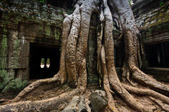 Tree roots envelop Ta Prohm temple Angkor stock image