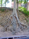 Tree Roots Exposed royalty free stock photos