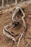 Tree Roots Exposed Due to Soil Erosion.  Royalty Free Stock Photo