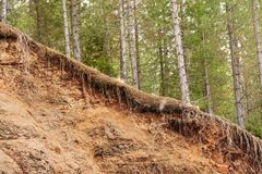 Tree Roots Exposed Due to Soil Erosion.  Stock Image