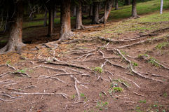 Tree roots exposed on the ground Royalty Free Stock Images