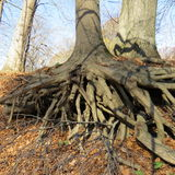 Tree roots. Exposed tree roots growing on river bank Stock Photography