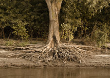 Tree roots exposed on the Mississippi River shore Royalty Free Stock Images