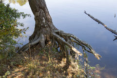 Tree roots exposed on shoreline Stock Images