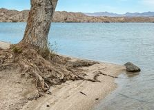 Tree roots exposed by the water. Lakeside tree roots are being exposed by the water washing the beach Royalty Free Stock Photo