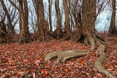 Tree roots with fallen autumn leaves in a hazy day Royalty Free Stock Photo
