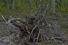 Tree roots. The roots of a tree fallen in the woods Stock Photos