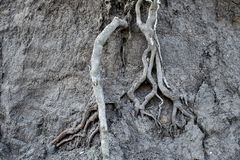 tree roots in the fertile soil layer stock photography