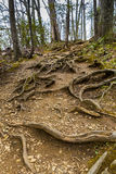 Tree roots on the footpath in forest. Royalty Free Stock Photo