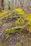 Tree roots on the footpath in forest. Royalty Free Stock Photography