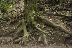 Tree roots in a forest Royalty Free Stock Photos