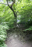 Tree with Roots Royalty Free Stock Images