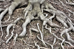Tree Roots in the Forest Stock Photos