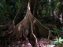 Tree roots in French Guyana rainforest. Tree roots in French Guyana rainforest, south america Stock Images