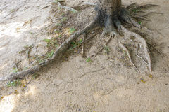 Tree roots and green forest. Big tree roots and green forest Royalty Free Stock Photos