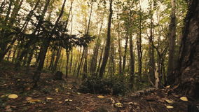 Tree roots and green forest. The roots of trees and green forest autumn stock video footage