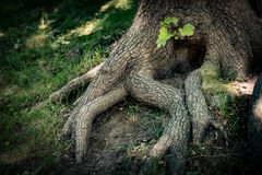 Tree roots with green grass. Detailed view of tree roots in forest with green grass around Stock Photo