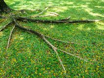 Tree roots on green grass ground. With flower Royalty Free Stock Photos