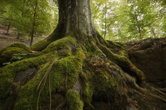 Tree roots with green moss on a cliff Royalty Free Stock Image