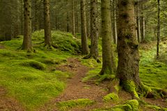 Tree roots among the green moss, norwegian forest, near Bergen. Stock Image