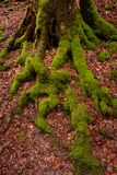 Tree and roots with green moss in vertical format Royalty Free Stock Photo