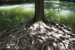 Tree roots. With green river Stock Photography