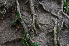 Tree roots and ground Stock Photography