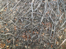 Tree roots on the ground Stock Photography