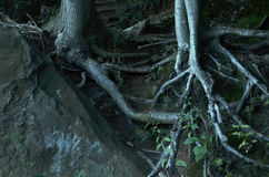 Tree roots growing around a huge rock Stock Photo
