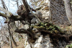 Tree roots growing out of stone wall ruins. Multiple large and thick tree roots growing out of stone wall ruins towards the sun Stock Photo