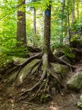Tree with Roots Growing over Boulder on Trail royalty free stock photo