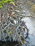 Tree Roots. Growing into the river Stock Image