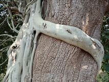 Tree roots grown over tree. Tree roots grown over tree, tree roots bark texture, nature creation background wallpaper. many uses for advertising, book page stock photo