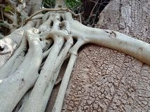Tree roots grown over tree. Tree roots grown over tree, tree roots bark texture, nature creation background wallpaper. many uses for advertising, book page royalty free stock images