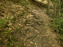 Tree roots on hiking path Royalty Free Stock Images