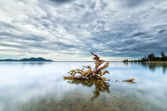 Tree roots hold strong on the lake Stock Photo