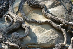 Tree roots hugging a boulder. The wizened roots of an old tree grasping a large boulder Royalty Free Stock Images