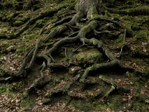 Free Tree Roots In Autumn Royalty Free Stock Photos - 116798268