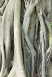 Tree roots intertwined Stock Photos