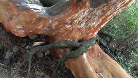 Tree roots intertwined on ground in Patagonia Argentina. Basis of forest. Foundation of vegetable green world stock video footage