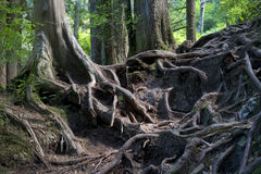 Intriguing tangled tree roots in forest. Intricate tangle of tree roots exposed with green background Royalty Free Stock Images