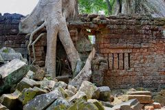 Tree roots jungle ancient Ta Prohm Angkor temple, Cambodia Royalty Free Stock Image